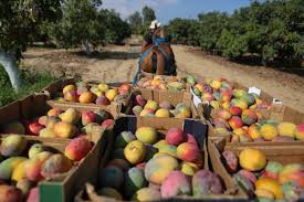 Mangoes in Gaza: Available in large quantities and taste good