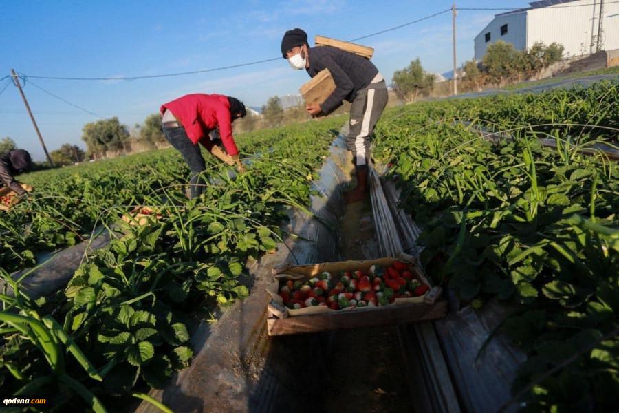خبرهای خوب فلسطینگلخانه ای در الخلیل که امید به زندگی می دهد برداشت محصول توت فرنگی از مزارع شمال غزه 4